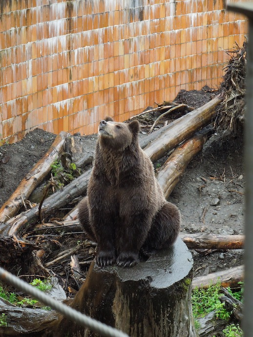 Bear posing for photos at Fortress of the Bear, Sitka,