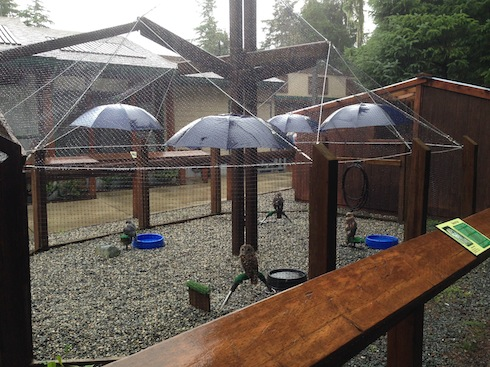 Birds at a Alaska Raptor Center, Sitka, stay out of the rain